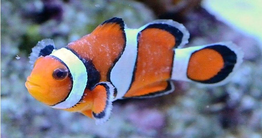 Sick Clownfish