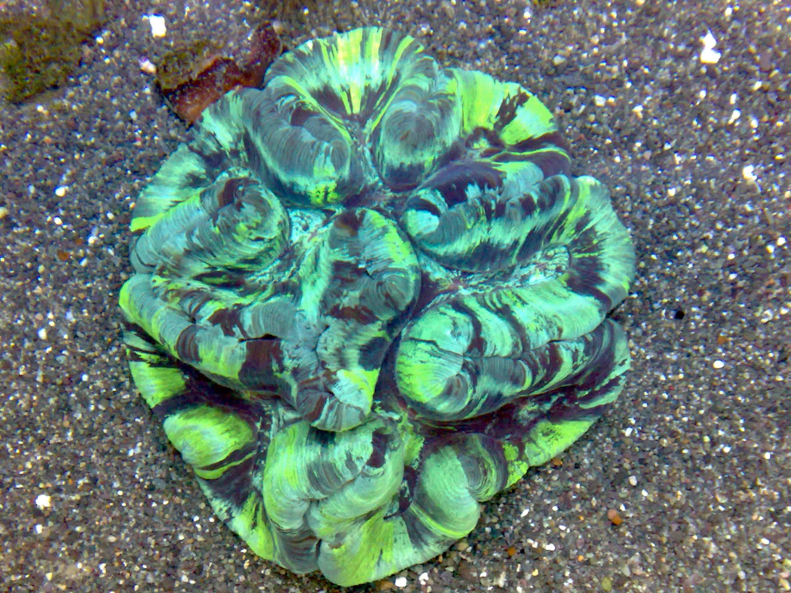 Open Brain Coral