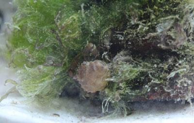 Green Hair Algae